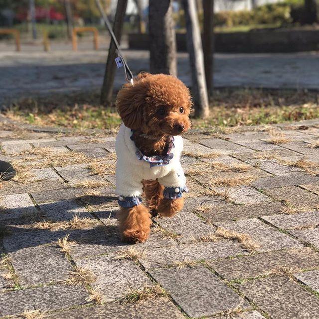 🐕 . 今日のお散歩☀️ お天気良くて気持ちいね☺️💕 #グラマーイズム さんのフリルシャツに #サーカスサーカス さんのモコモコカーデ を合わせてみたよ( *´꒳`* )💓 . #トイプードル #トイプードル男の子 #トイプードルレッド #プードル #ふわもこ部 #犬のいる暮らし #親ばか部 #わんこなしでは生きていけません会  #犬のいる生活 #タイニープードル #ティーカッププードル #可愛い #愛犬 #プードル部 #犬なしでは生きていけない #犬服 #ドッグウェア #犬の洋服#トリミング  #おしゃれわんこ #おしゃれカット #いぬすたぐらむ #toypoodle  #エレdog