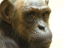 """Can Chimps Be 'Persons' Under The Law? 