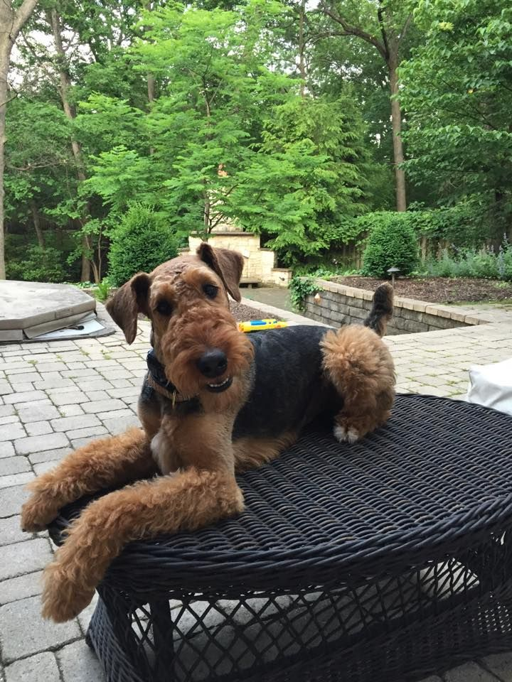 25 b sta id erna om airedale terrier p pinterest welsh terrier och foxterrier. Black Bedroom Furniture Sets. Home Design Ideas