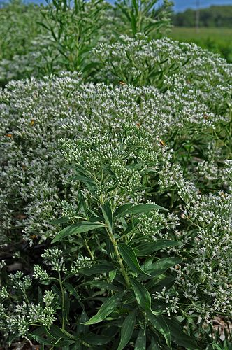 Track email tool. Run a trace for an email address or name. http://howtogetridofcoldsores.us/ Eupatorium altissimum