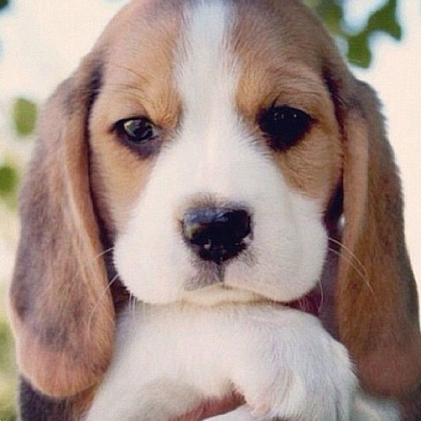 "Basset hound puppy ""the long ears"""