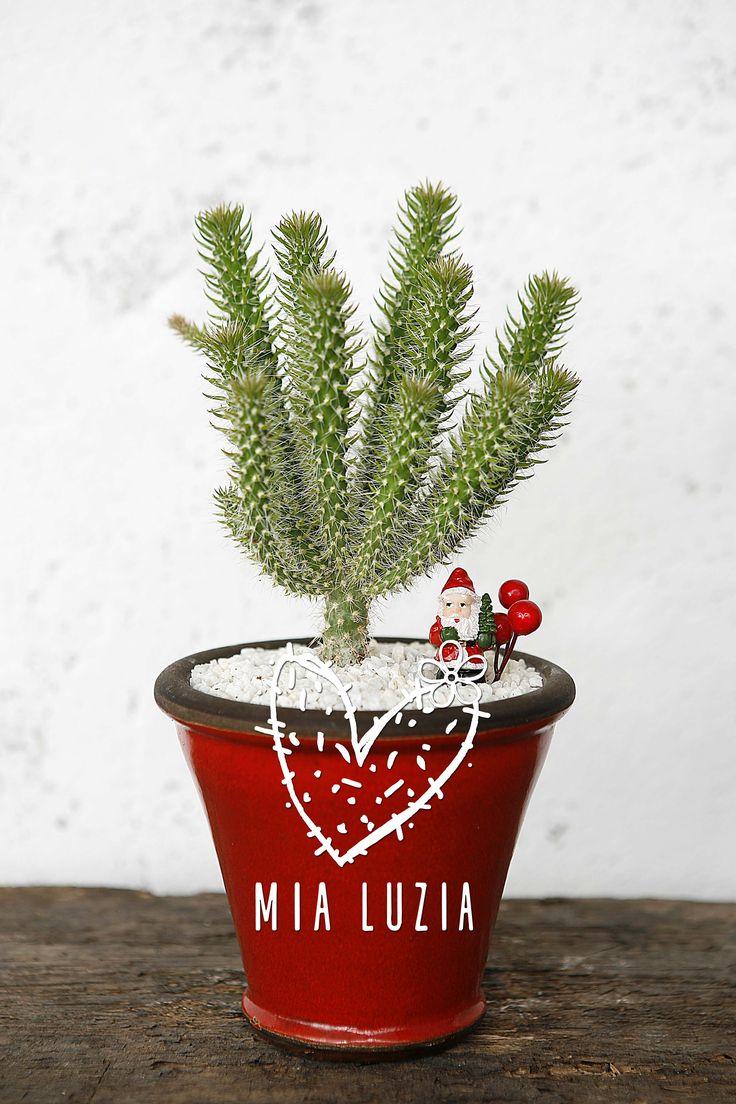 Mia Luzia https://www.facebook.com/mialuzia.cactos.suculentas  Cactus e Suculentas