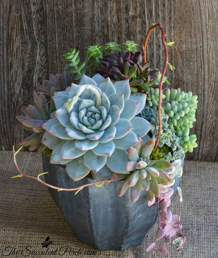 Upfront and 'Off Center' with Echeveria 'Tippy' design/photo: The Succulent Perch