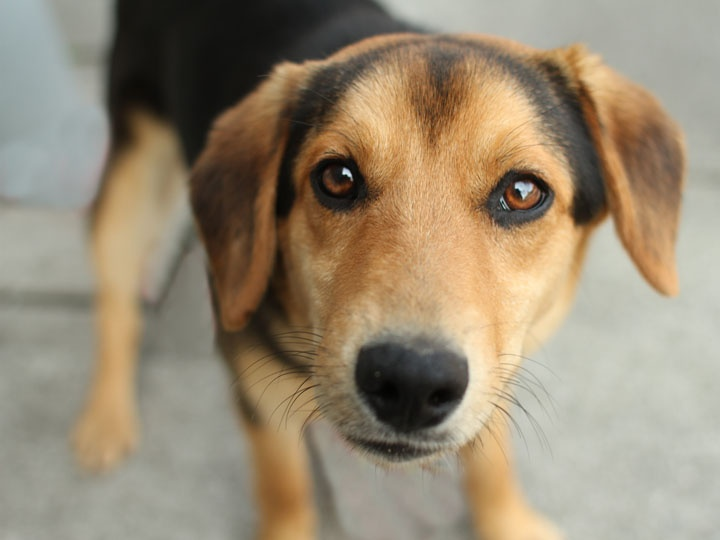 Beagle German Shepard.. Diesel must have looked like this when he was a puppy...