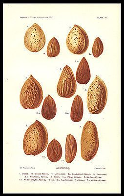 "paperink id: prints300 1897 Almond Varieties Lithograph Artist D. G. Passmore Print from the Yearbook U.S. Dept. of Agriculture, A. Hoen & Co Lith. Print measures approximately 6"" x 9"". Very Good cond"