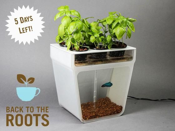 Aquaponics Garden Self-Cleaning Fish Tank - Classroom pet?