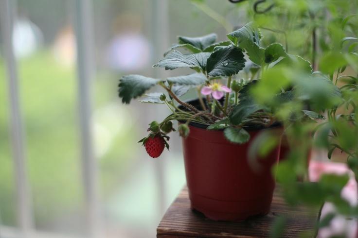 terrace berry