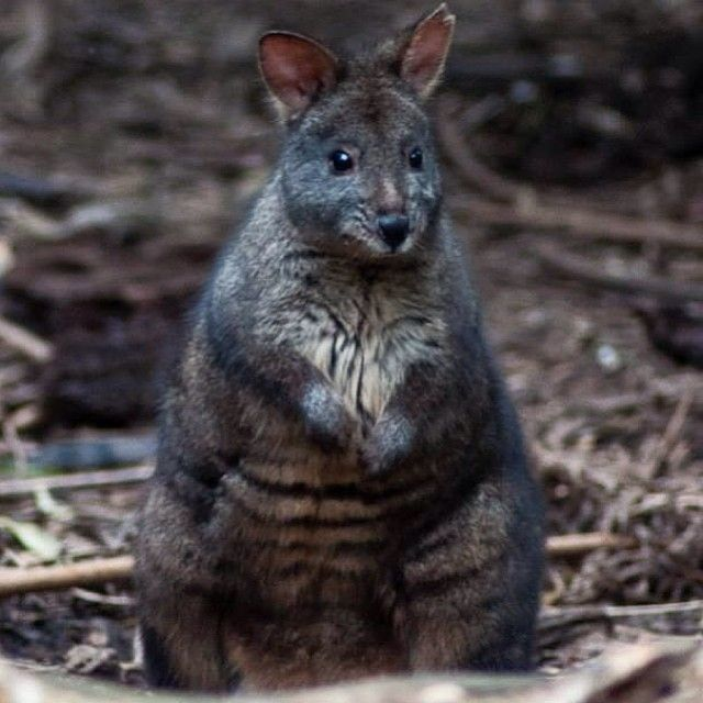 This little wallaby at Healesville Sanctuary, Yarra Valley, looks like trouble, but cute trouble!
