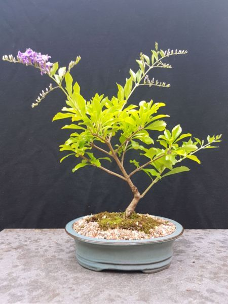 Bonsai, Geisha Girl duranta | Plants | Gumtree Australia North Sydney Area - Cremorne | 1134938028