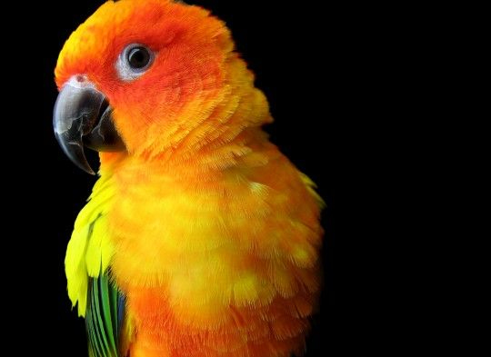 Baby Sun Conures: They are spoon feeding, two to three times a day. Will not separate. They are  very tame that will make an amazing pet.