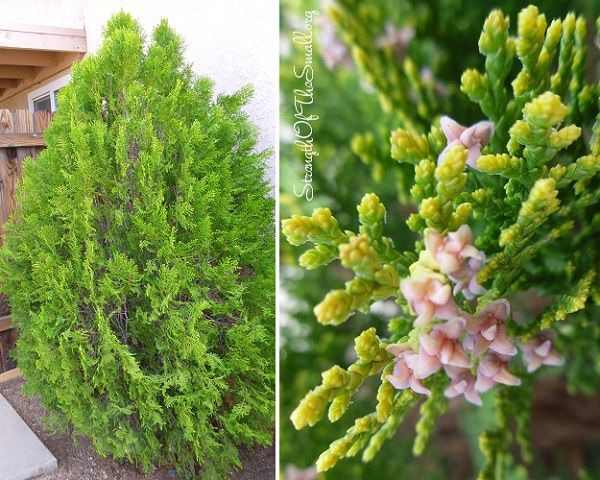 M s de 1000 ideas sobre thuja orientalis en pinterest for Arboles perennes de crecimiento rapido
