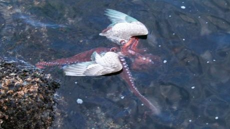 Octopus eating seagull captured in photos