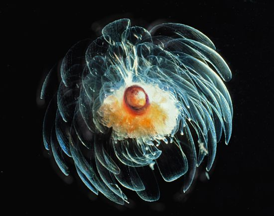 flower-shaped jelly - The deep ocean is home to hundreds of species with soft, jelly-like tissues. Many of these gelatinous animals are transparent, and many are beautiful. Siphonophores, such as the one pictured, are closely related to jellyfish. Such modular construction allows some deep-sea siphonophores to grow to more than 100 feet long. (Photo by Larry Madin, Woods Hole Oceanographic Institution)