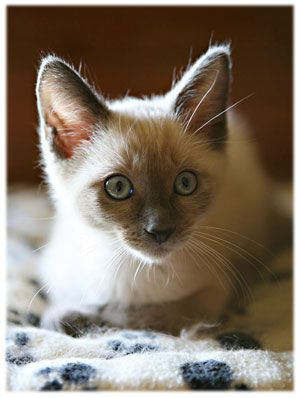 Texas Siamese Rescue!!!