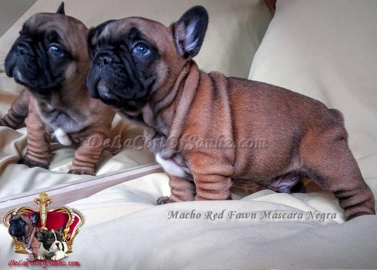 Nuestros cachorros son VERDADEROS Cachorros Bulldog Francés de un Excelente Pedigrí de las mejores líneas de sangre a nivel mundial, registrados en la FCA..