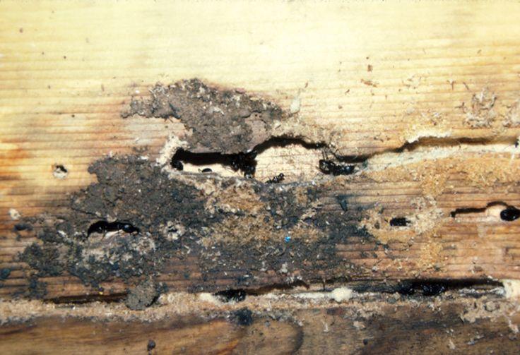 Carpenter ant damage.