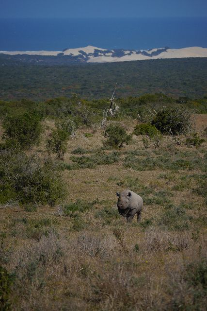 Rhino walking