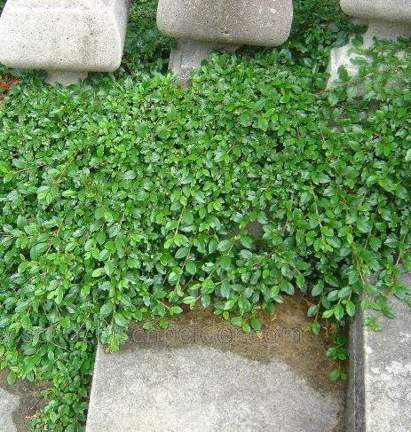 dwergmispel winterhard, wintergroen, bodembedekker. Cotoneaster_dammeri