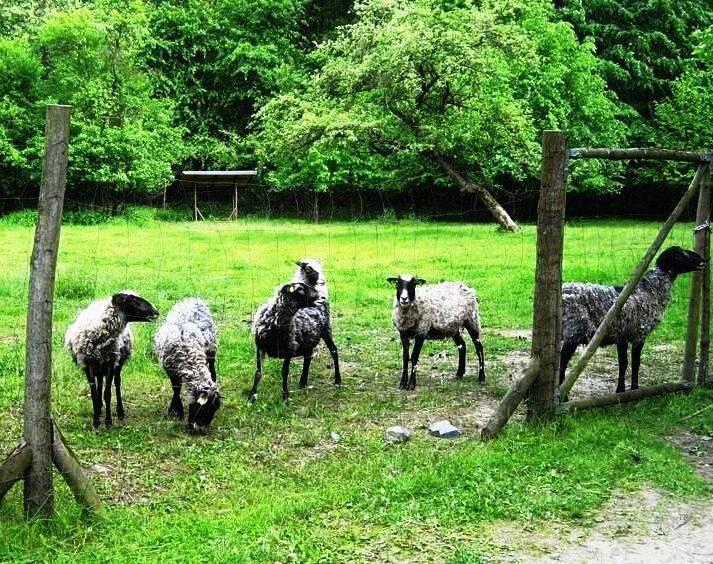 Sheep, Nové Dvory no, not mine :-)))))