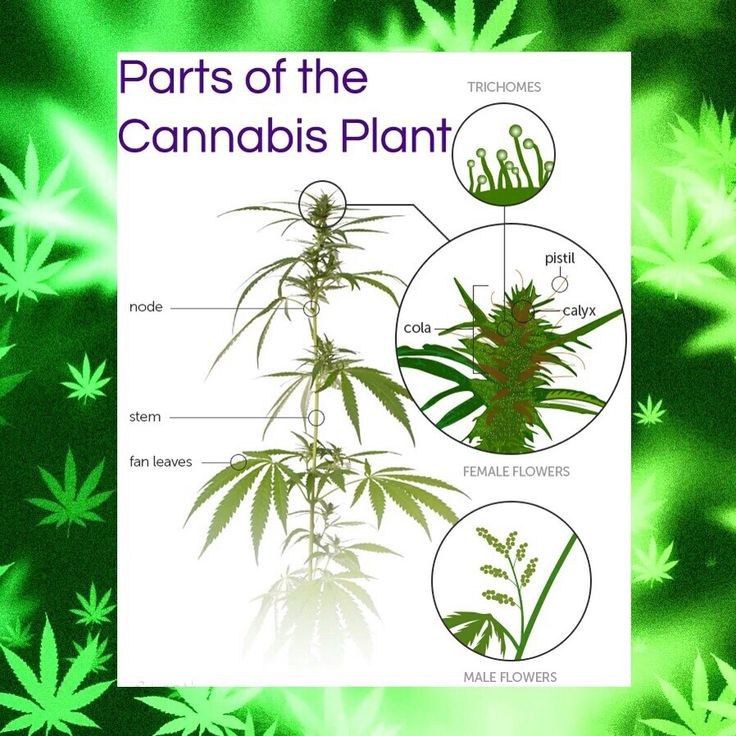 marijuana the perfect plant Effects can vary depending on the plant so what would the effects be of perfect pot this is what the world's most 'perfect' marijuana high would.