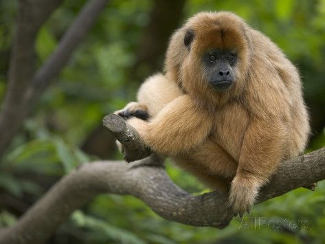 ~ Black Howler monkey (Alouatta Caraya), female