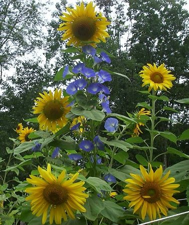 GIANT SUNFLOWERS & HEAVENLY BLUE MORNING GLORY VINES (Helianthus & Ipomoea)