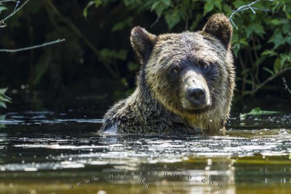 Cute grizzly bear portrait in Glendale River, British Columbia, Canada.