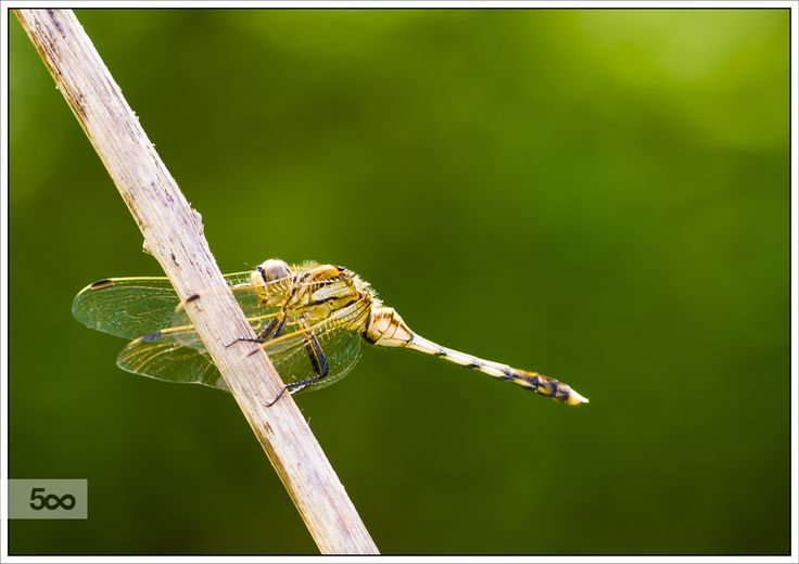 Another dragonfly by Nicola Di Nola on 500px