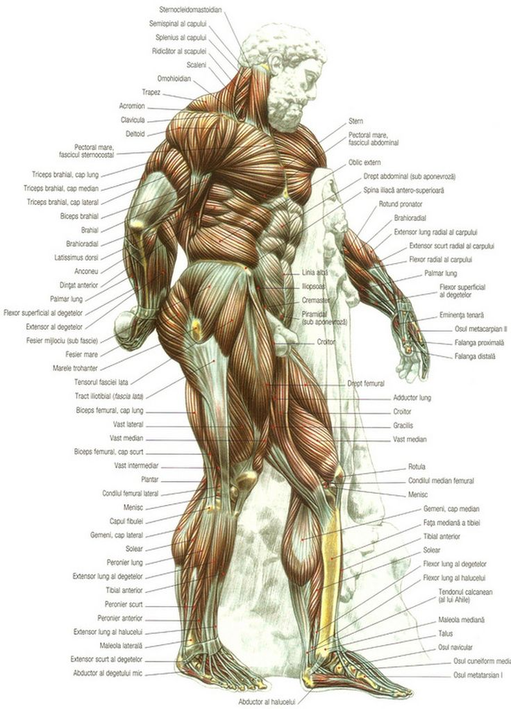 91 best poses human body images on pinterest the human body httpalexandrucrasmaruweeblyuploads67 body referenceanatomy referencehuman ccuart Gallery