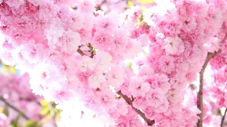 Alberi in fiore di primavera.