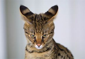 How Much Does A Savannah Cat Cost? | Serval Cat Prices