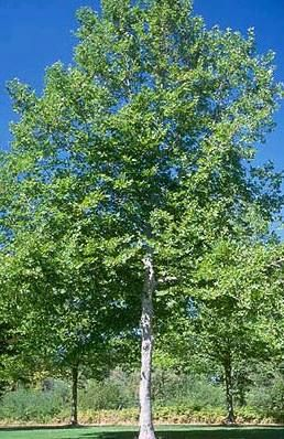 London Plane Tree (sycamore?)... genius