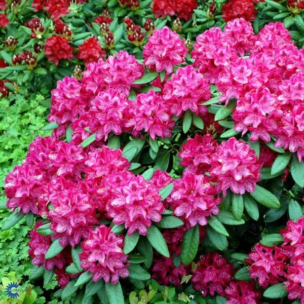 412 best rhododendrons and azaleas images on pinterest for How to care for rhododendrons after blooming