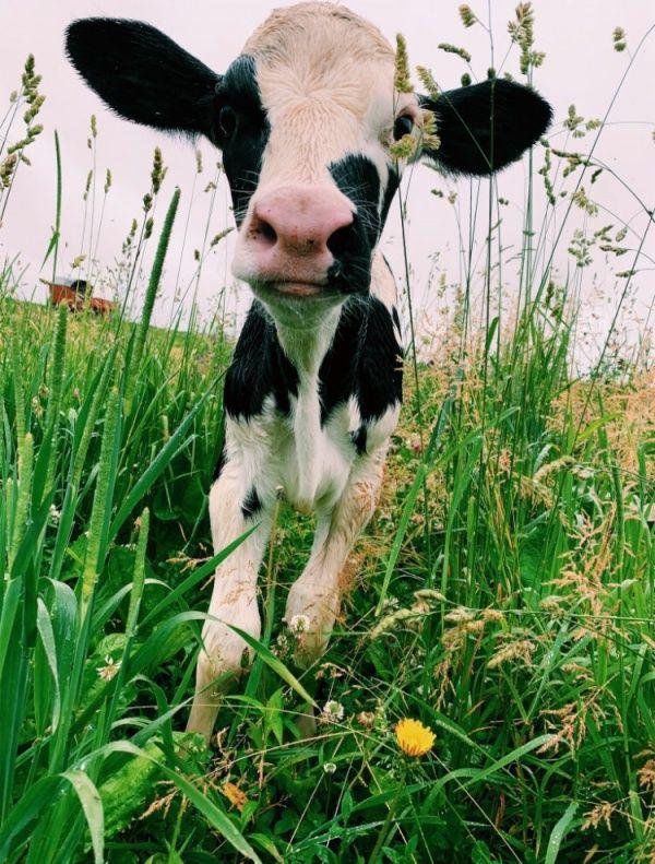 Animals Cute Baby Cow Fluffy Cows Fluffy Animals