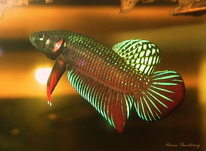 Wild betta splendens wild collected adult male specimen for Wild betta fish
