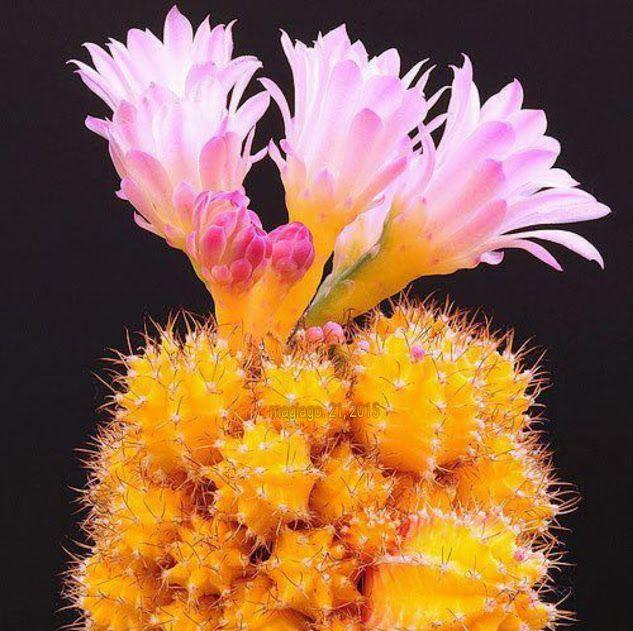 Nombre común: Cactus injertado Nombre científico:Gymnocalycium mihanovichii