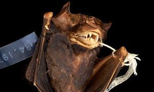 New bat species rises from vaults of London's Natural History Museum | Environment | The Guardian