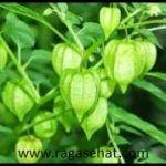 khasiat dan manfaat ciplukan Manfaat dan khasiat ciplukan untuk kesehatan – Tanaman ciplukan ini adalah tanaman yang biasanya tumbuh secara liar biasa