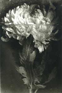 Crisantemo. Pilar Pequeño