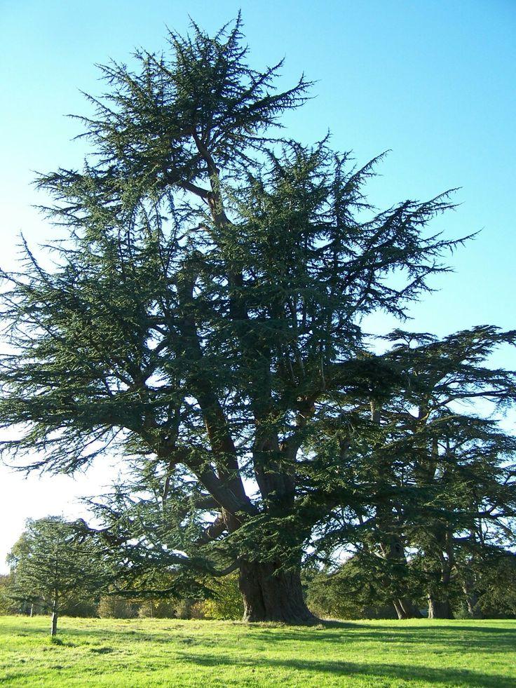 Cypress tree at Kingston Lacy NT | Дерево