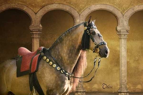 ChateauBriant do Passargada Buckskin Lusitano | dun Lusitano