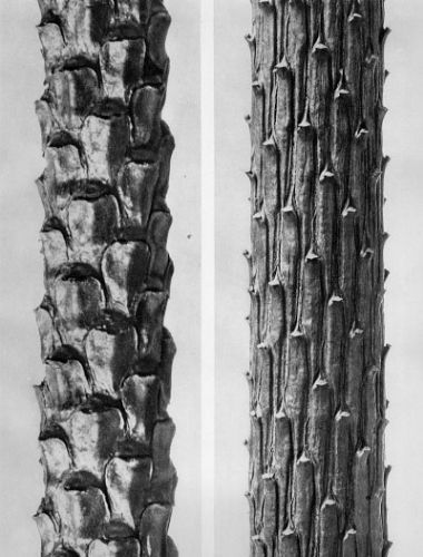 Karl Blossfeldt, Pinus sylvestris, Common Scotch pine, section of twig w/out needles