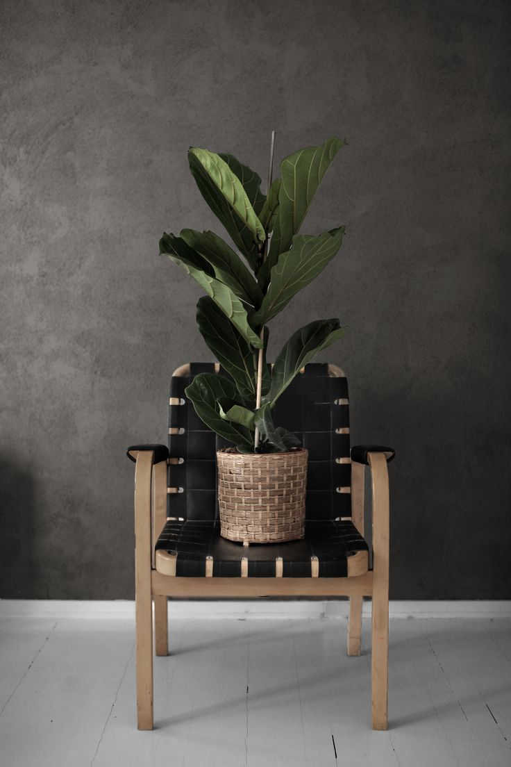 Fiddle leaf and Artek  Photography: Tim Kiukas Instagram: timphoto
