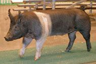 Hampshire Pigs: A vigorous, attractive breed, Hampshires sport a white belt—and may be one of the oldest swine breeds.