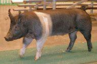 Hampshire Livestock
