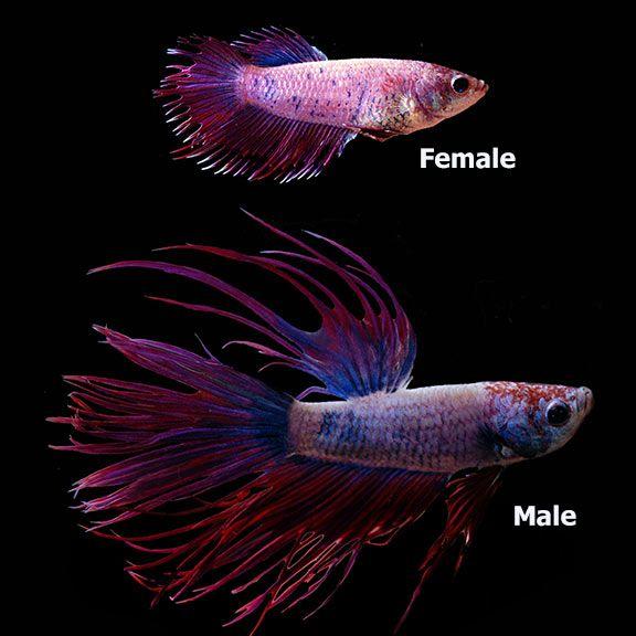 A Href Https Ccmdy Com Casinosite 카지노사이트 A Siamese Fighting Fish Betta Fish Fish Pet