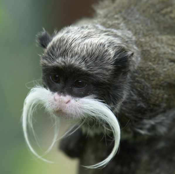 Emperor Tamarins would win a moustache contest against any hipster and would probably at least hold their own against cowboys too.