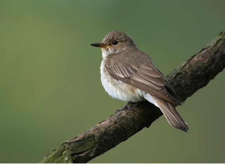 Spotted flycatcher (Muscicapa striata)   Oxford