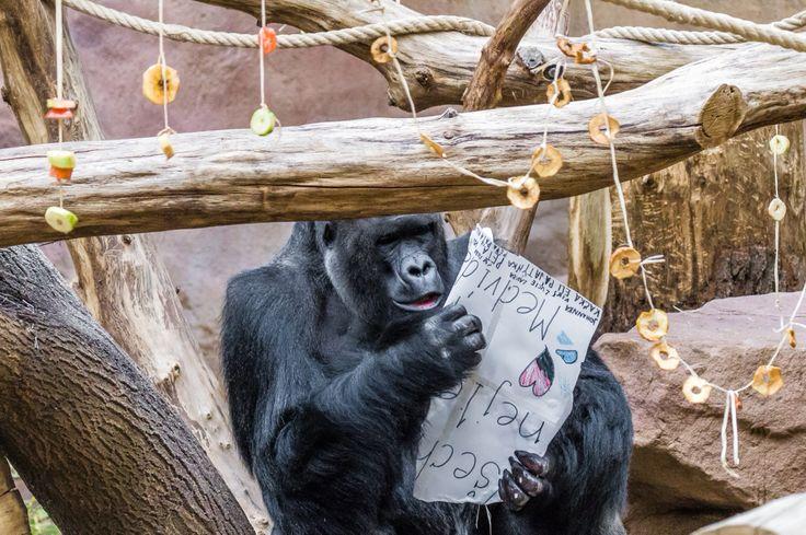 v neděli oslavil samec gorily nížinné Richard své 23. narozeniny.