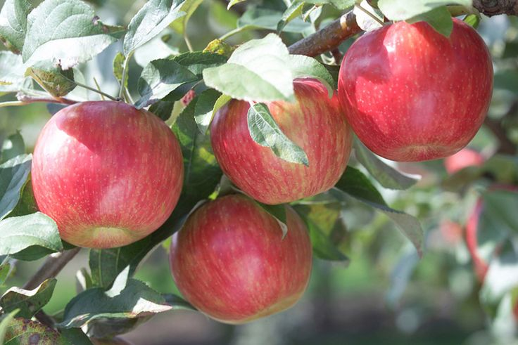 How to care for apple trees-university of Minnesota extension